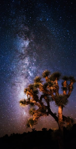Blooming Under The Stars, Joshua Tree Night Photo