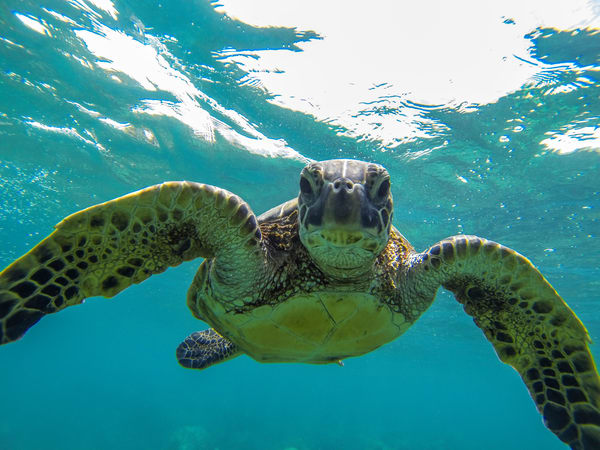 Posing Hawaiian Sea Turtle Fine Art Print