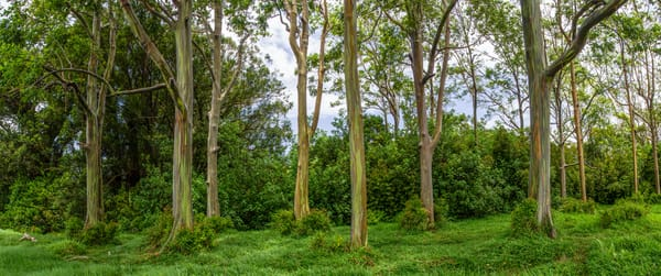 Rainbow Forest, rainbow eucalyptus in Hana, Maui Photo Print