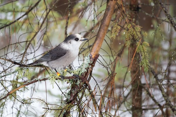 Gray Jay perched in a tree
