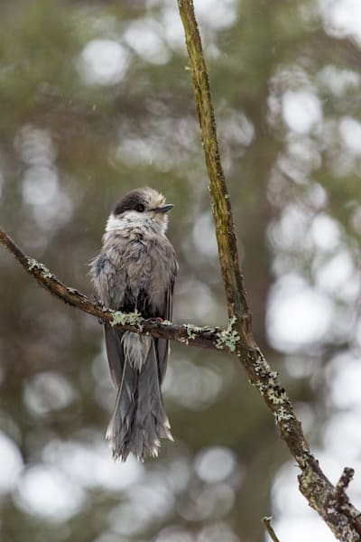 Soaked Gray Jay perched in a tree