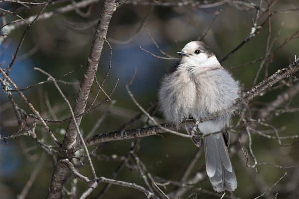 Fluffy Gray Jay