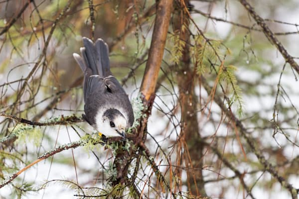 Gray Jay leaning down and looking at you