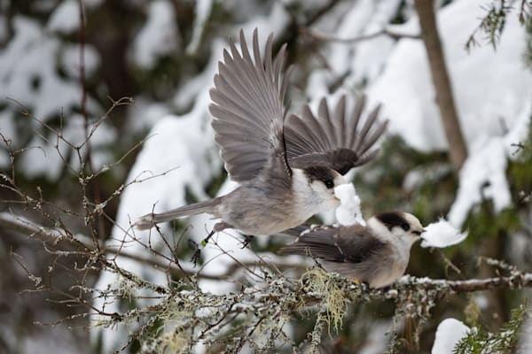 Gray Jays building a nest