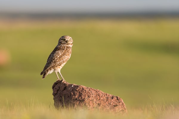 Burrowing owl #1