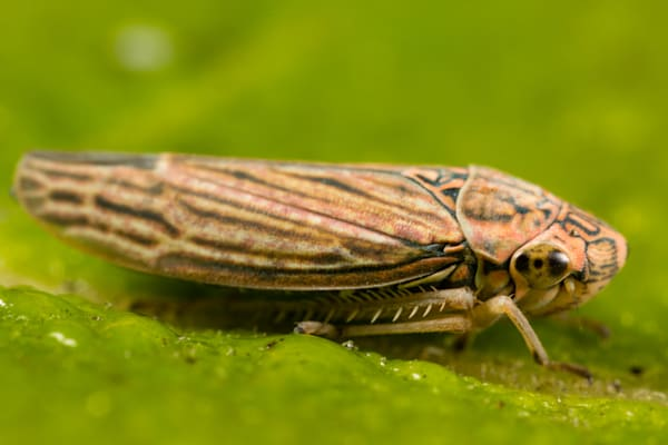 Sharpshooter leafhopper #2