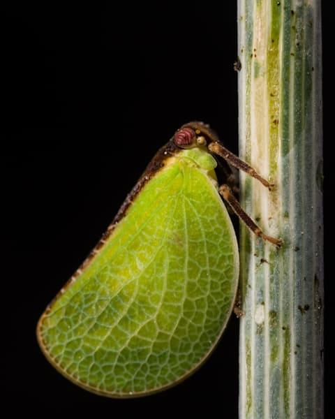 Two-striped Planthopper