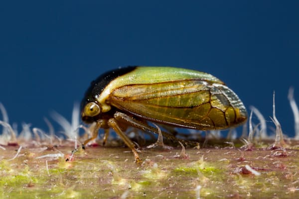 Tree hopper #1