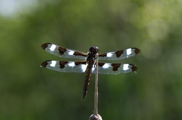 Twelve-spotted skimmer #1