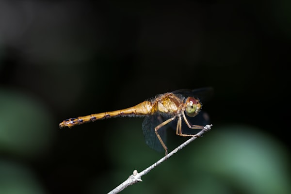 Yellow-legged Meadowhawk #1