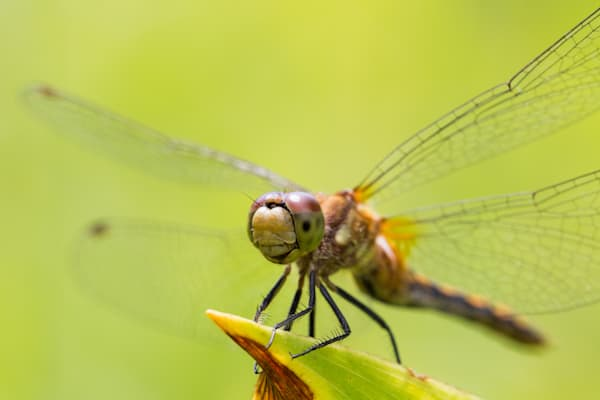 White-faced Meadowhawk #2
