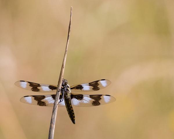Twelve-spotted skimmer #2