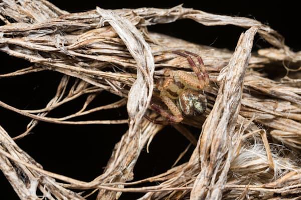 Crab spider hiding in cattail