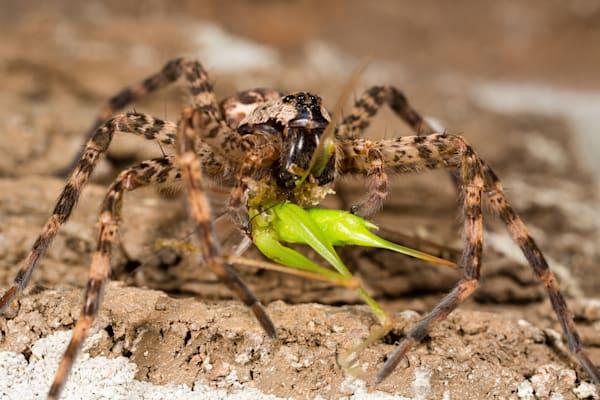Fishing spider #1