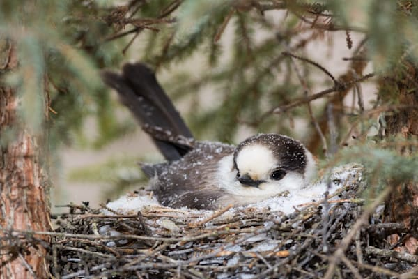 Gray Jays - Nominated as Canada's National Bird