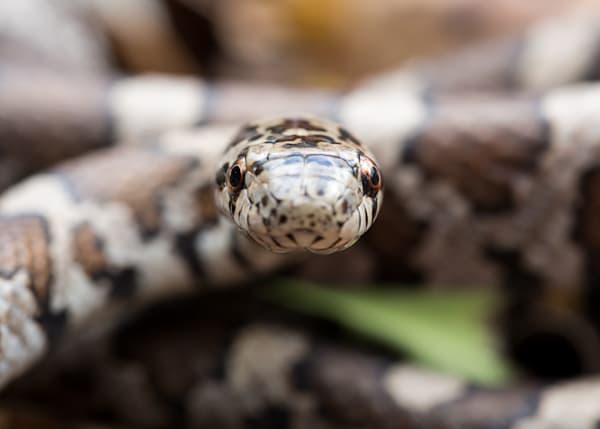 Milk snake #1