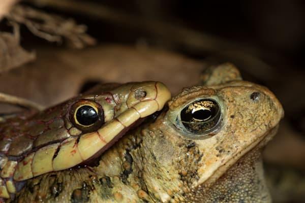 Garter snake eating a toad