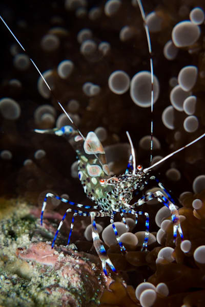 Spotted cleaner shrimp #1
