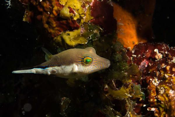 Caribbean sharpnose-puffer #2