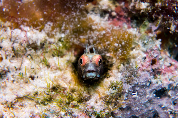 Roughhead blenny #1