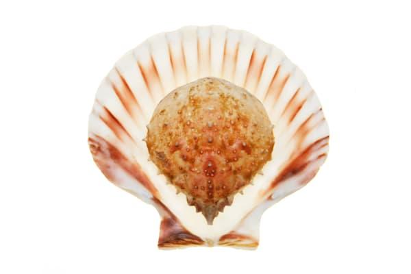 Shell Baby Horseshoe Crab
