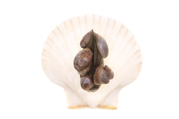 Shell with Mussel and Hitchhickers