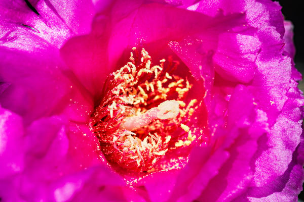 Beavertail Cactus Flower Close Up Photograph for sale as fine art