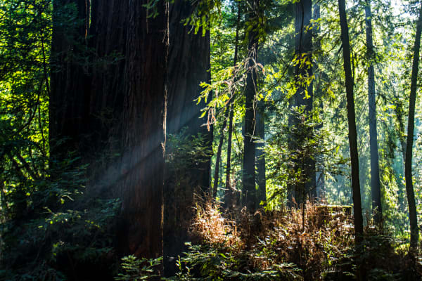 Light Beams In Big Sur Forest Photograph for sale as fine art