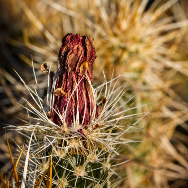 Dried Barrel Cactus Flower Photograph For Sale As Fine Art