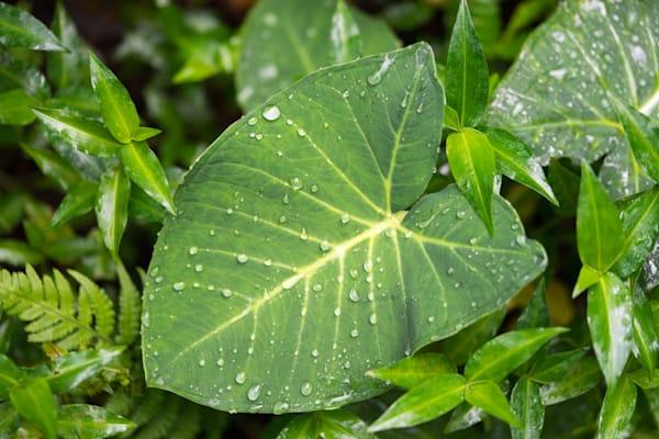 Nature Photography | Kalo Rain Drops by Peter Tang