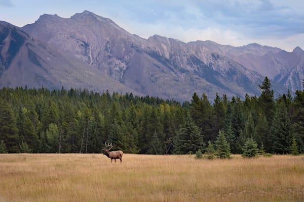 Bull Elk and Mountains Photograph for Sale as Fine Art.