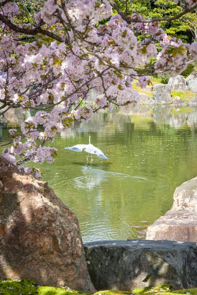 cherry blossoms, Kyoto, Japan, crane