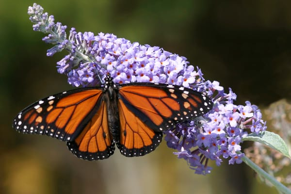 monarch, butterfly bush, butterfly