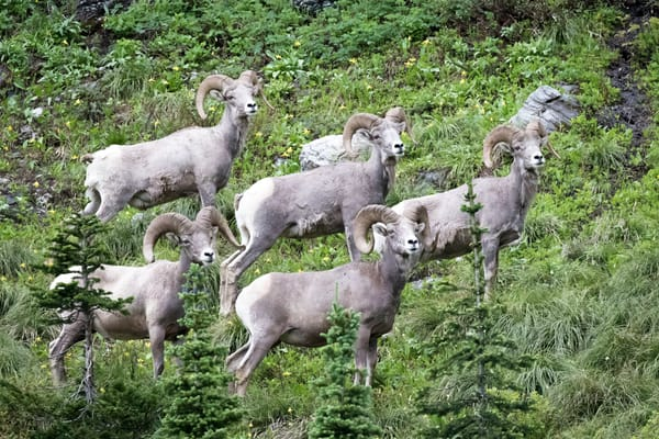 Glacier National Park, big horn sheep