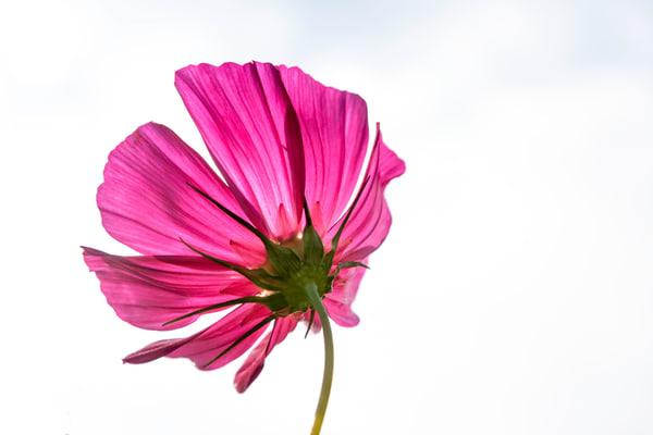 cosmos, flowers