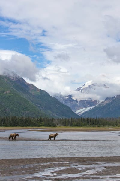 brown bears, glacier, Alaska