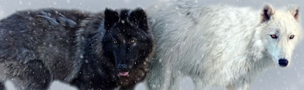 Wolves in Snow by Michele Taras | SavvyArt Market photography