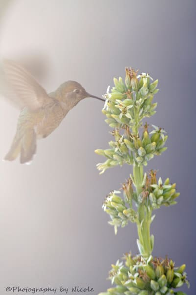 """Hummingbird in the Flight"" by Nicole Ramirez 