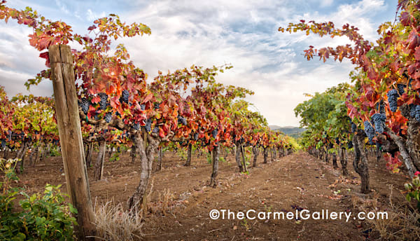 Zinfandel Autumn Art | The Carmel Gallery