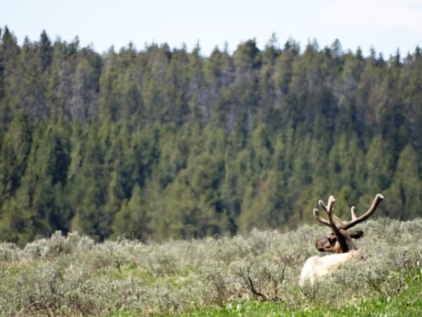 Photograph of a bull elk for sale as fine art