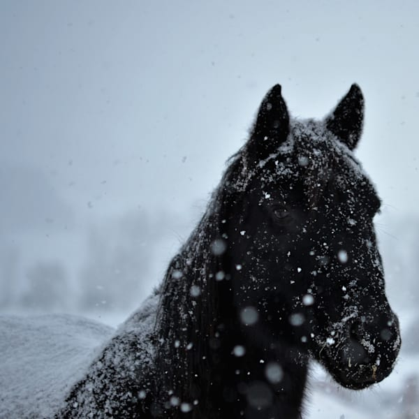 Photograph of a black horse in the snow for sale as Fine Art