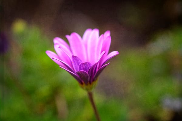 Photograph of a single flower - purple daisy called Osteopermum ecklonis