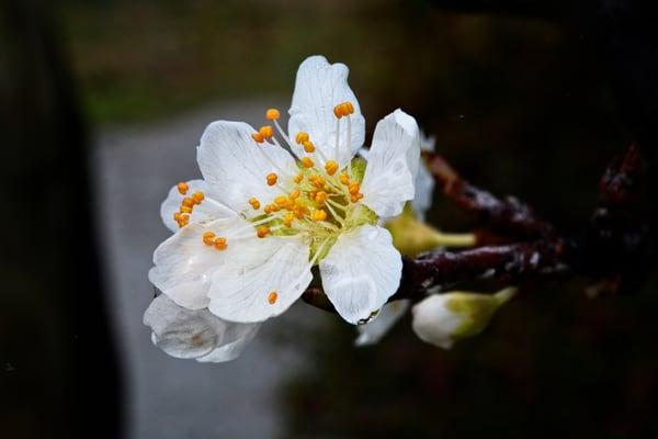 Photograph of white Santa Rosa flowers as fine art prints