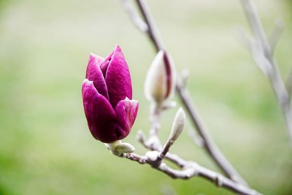 Photograph of a magnolia flower as fine art prints
