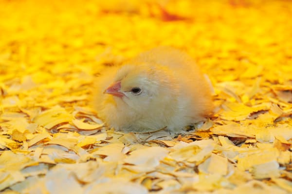 Beautiful Fine Art Paintings and Photographs by Vivian Lo – Picture of a new born chick. Originals and Prints for sale - VLo Photo