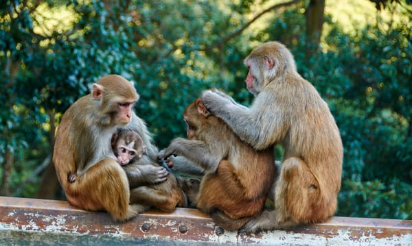 Beautiful Fine Art Paintings and Photographs by Vivian Lo – Picture of a family of wild monkeys grooming each other during family time. Originals and Prints for sale - VLo Photo