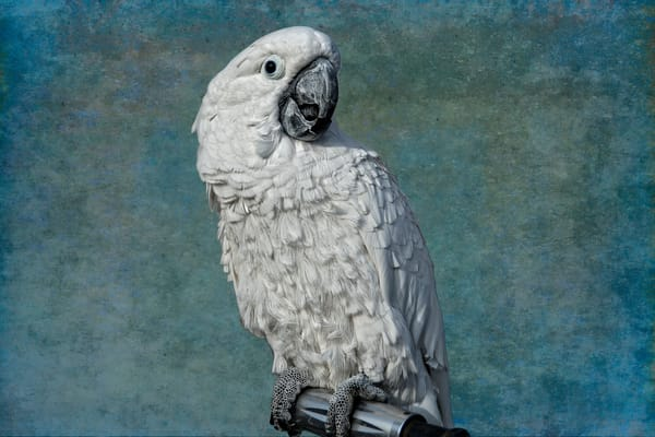 Beautiful Fine Art Paintings and Photographs by Vivian Lo – Picture of a white cockatoo. Originals and Prints for sale - VLo Photo