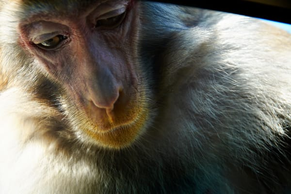 Beautiful Fine Art Paintings and Photographs by Vivian Lo – Portrait photograph of a monkey in the wild - Rhesus macaque. Originals and Prints for sale - VLo Photo