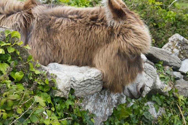 Small Pony, Ireland