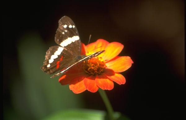 Brown/white/red butterfly on orange flower at La Guacima de Alajuela, Costa Rica